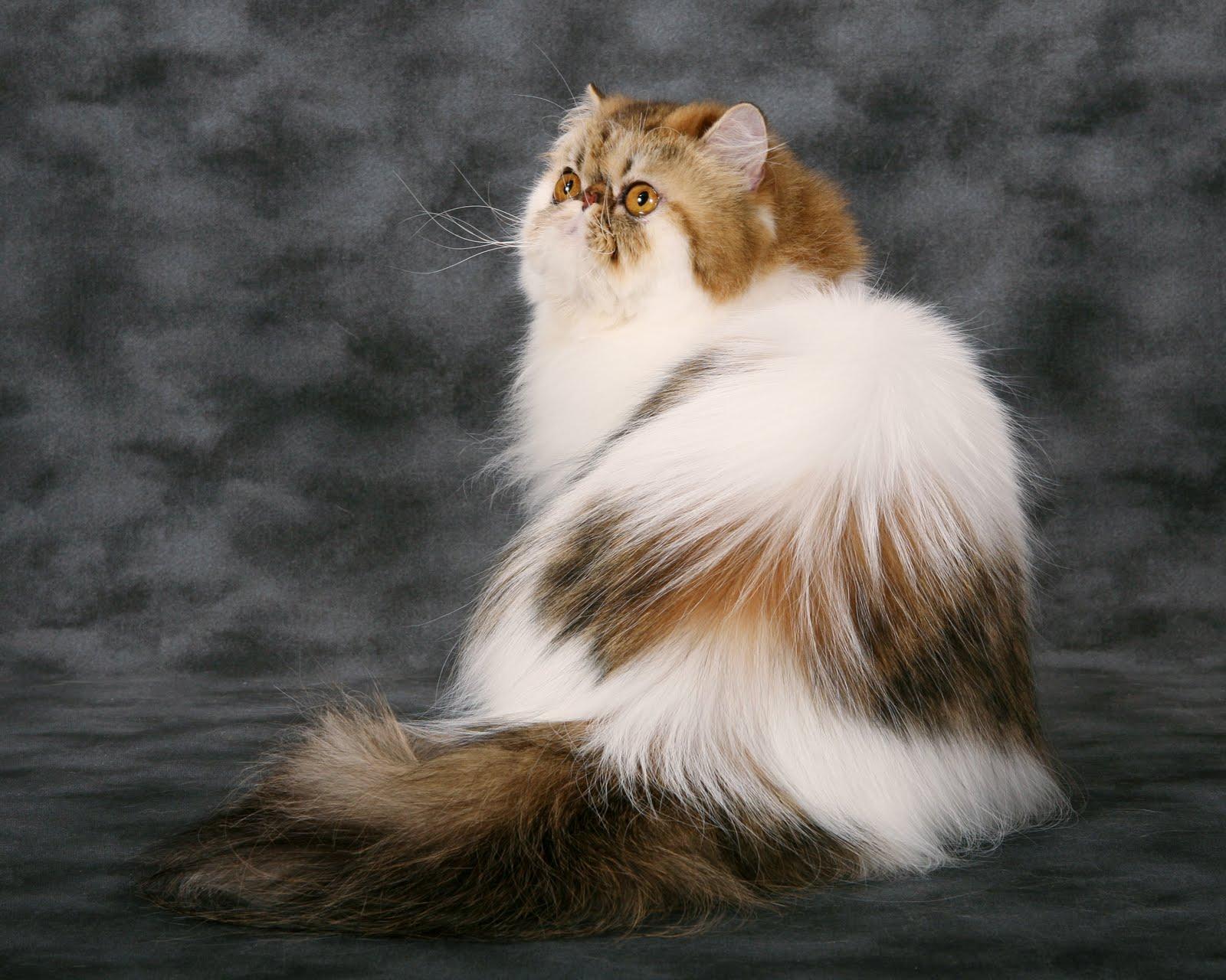Cara Merawat Kucing Jual Kucing Persia Halaman 2