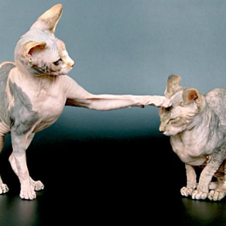 10 Jenis Kucing Tanpa Bulu Jual Kucing Persia